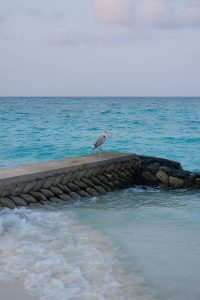 Fushifaru, Indian Ocean, sea, water, beach, sand, sky, clouds, grey heron on a gangplank, blog post about Maldives on lifetime-pieces.com